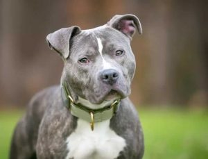 7 Of The Best Home Insurance Companies That Allow Pit Bulls